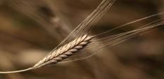 Лимец - най-чистата пшеница